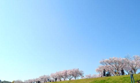 2018年春、狭山池の桜が見頃です!