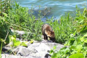 狭山池の狸