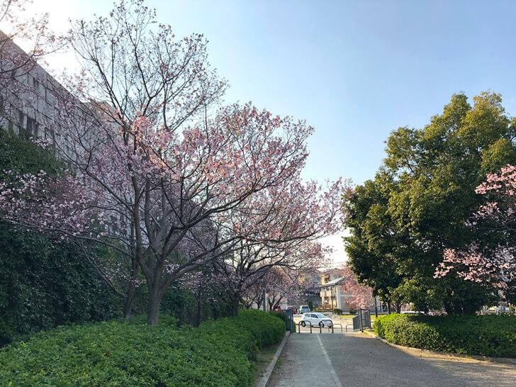 2019年 狭山池桜開花情報