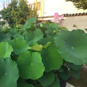 報恩寺(ほうおんじ)蓮の花