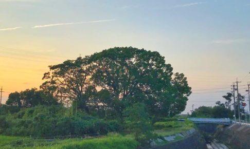 東除川に沿って東池尻を散歩をしていると、一際目立つ「大きな楠(クスノキ)」が目に留まります。 (3)