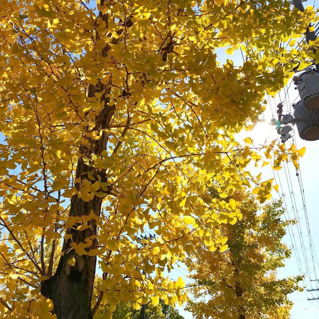 本日は「いちょう通り」をお散歩。秋らしくなってきました (3)