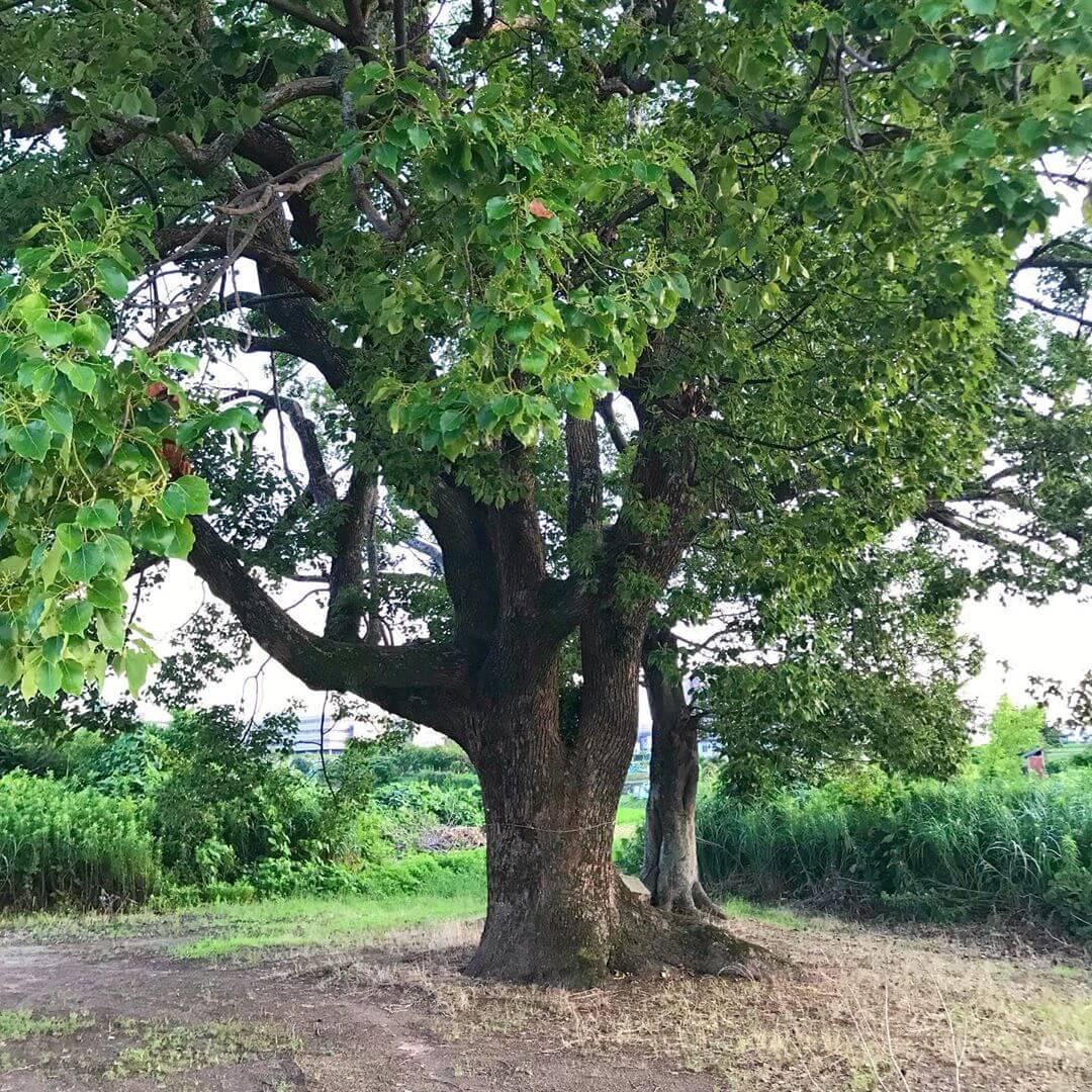 東除川に沿って東池尻を散歩をしていると、一際目立つ「大きな楠(クスノキ)」が目に留まります。 (1)