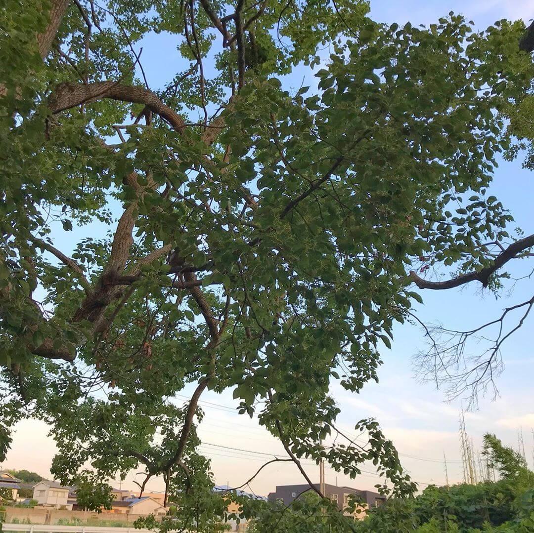 東除川に沿って東池尻を散歩をしていると、一際目立つ「大きな楠(クスノキ)」が目に留まります。 (5)