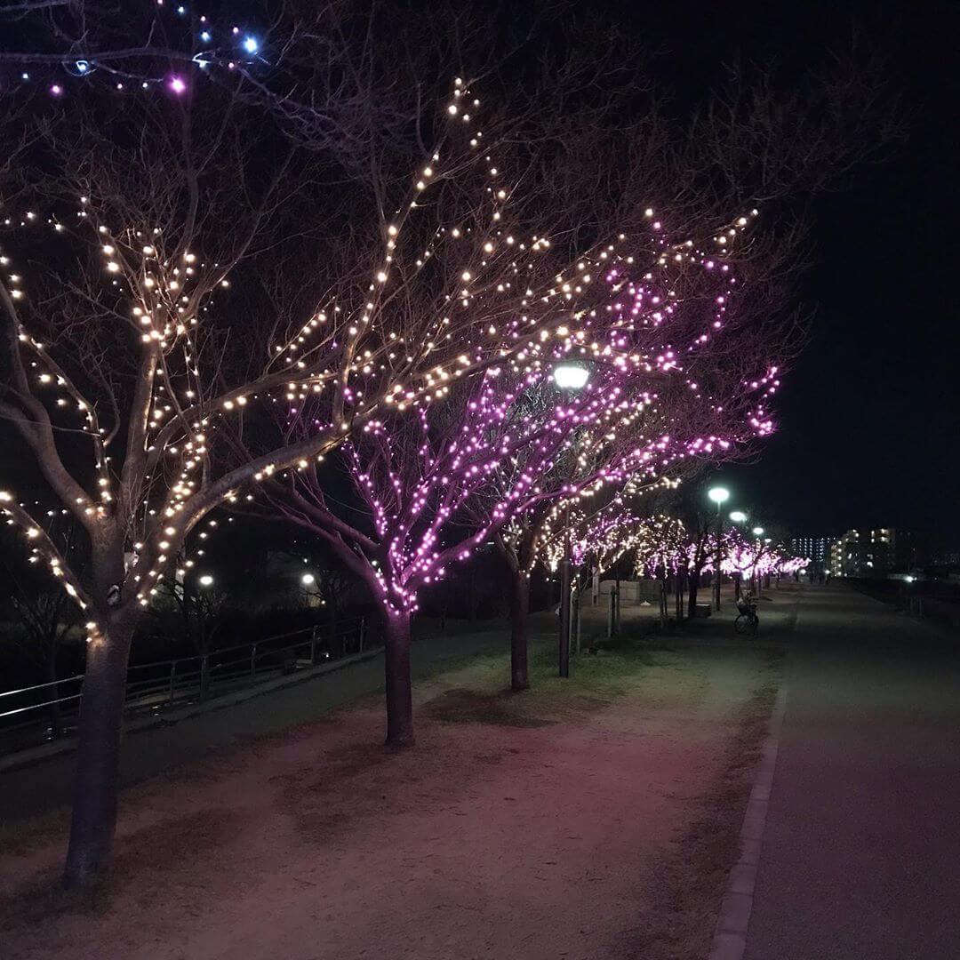 【2019年】現在、狭山池北堤では桜並木にイルミネーションの灯りが灯り、幻想的な光の華が咲いています! (3)
