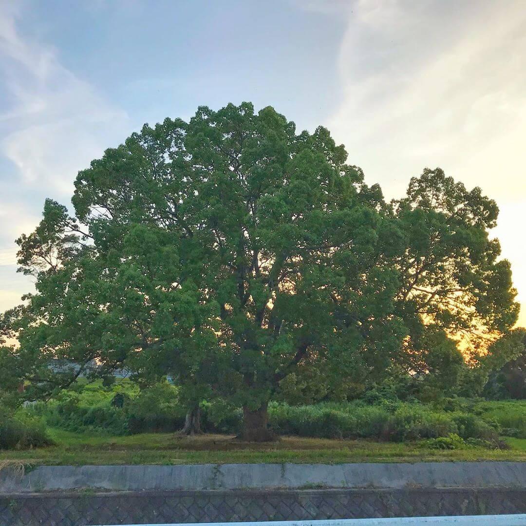 東除川に沿って東池尻を散歩をしていると、一際目立つ「大きな楠(クスノキ)」が目に留まります。 (4)