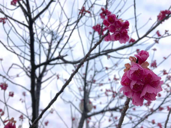 2020-03-01狭山池の桜