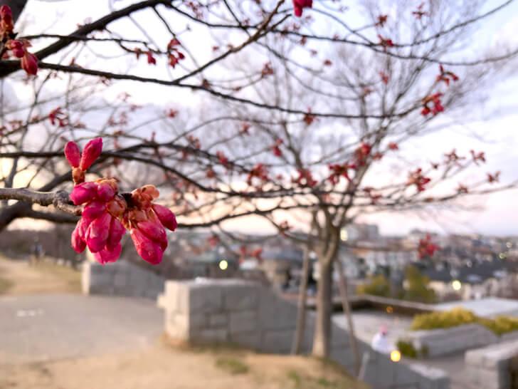 2020-02-23の狭山池の桜