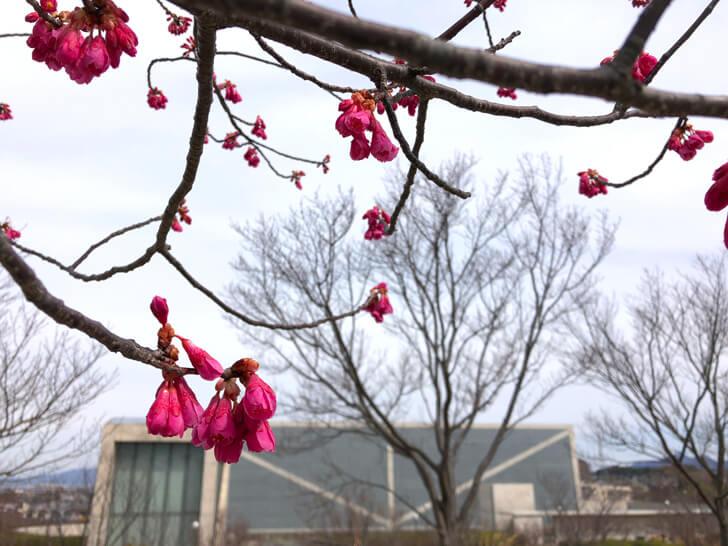2020-02-28狭山池の桜