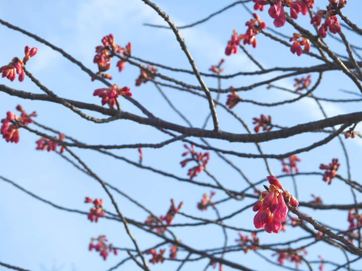 2020-02-24の狭山池の桜
