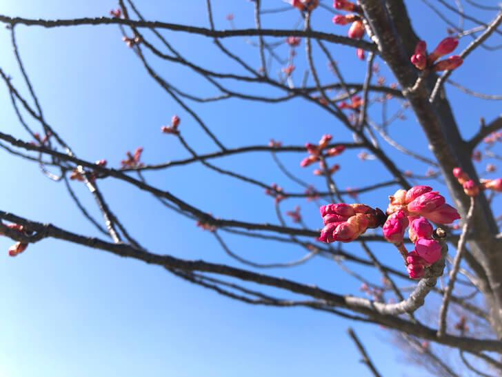 2020-02-21の狭山池の桜
