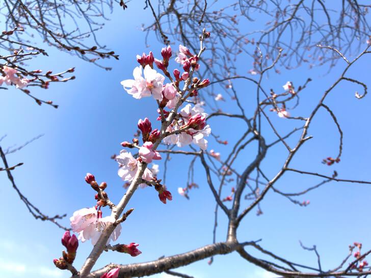 2020-03-17狭山池の桜 (2)