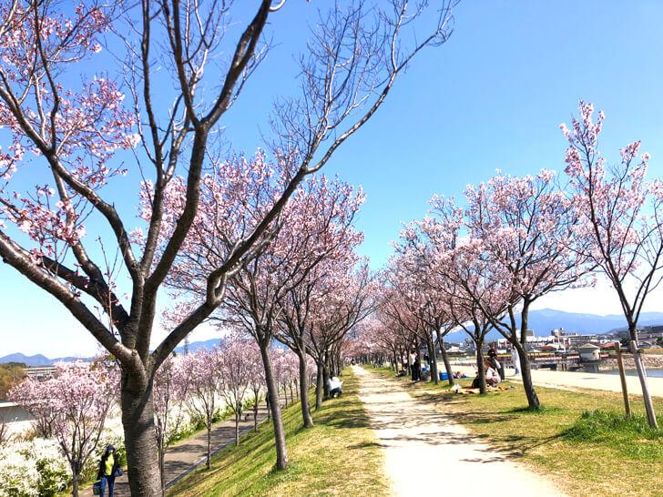 2020-03-25狭山池の桜 (1)