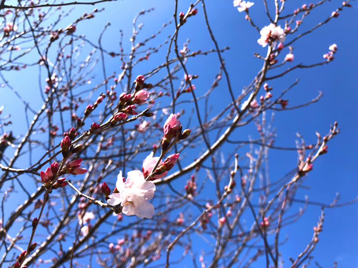 2020-03-02狭山池の桜