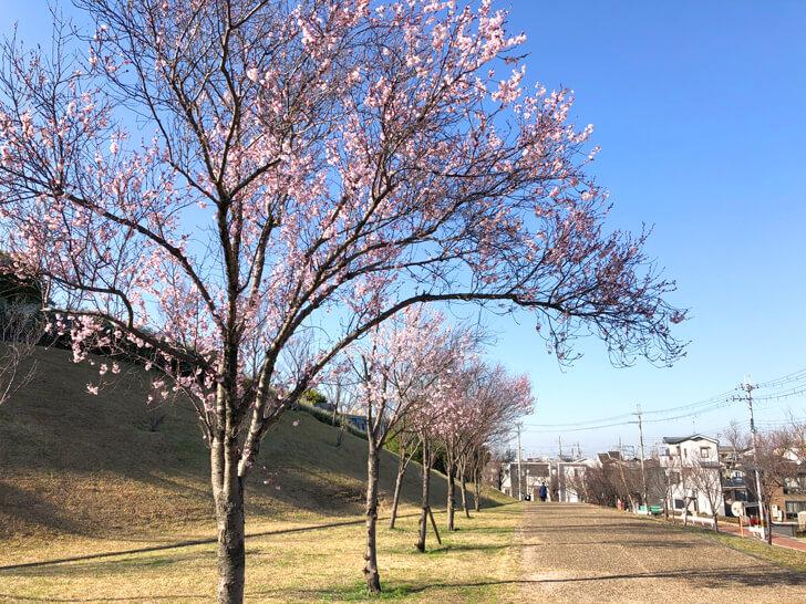 狭山池の桜2020-03-12№(15)