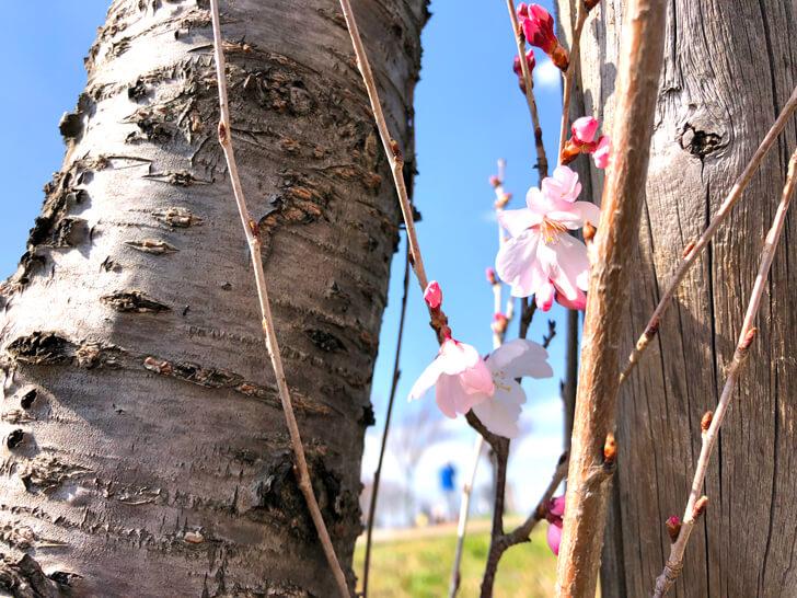 2020-03-19狭山池の桜 (2)