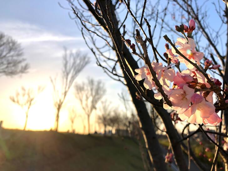 狭山池の桜2020-03-12№(46)