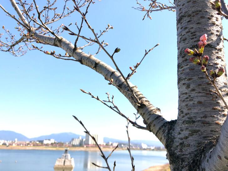 2020-03-25狭山池の桜 (15)