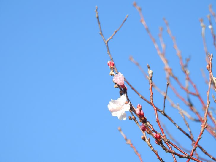 2020-03-06狭山池の桜