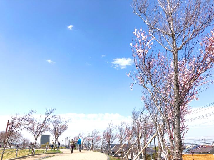 2020-03-19狭山池の桜 (1)