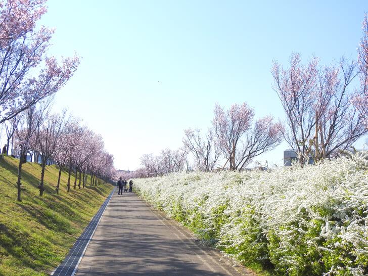 2020-03-25狭山池の桜 (29)