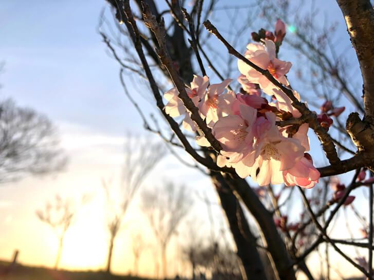 狭山池の桜2020-03-12№(45)