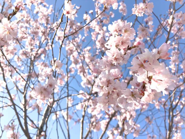 狭山池の桜2020-03-12№(20)