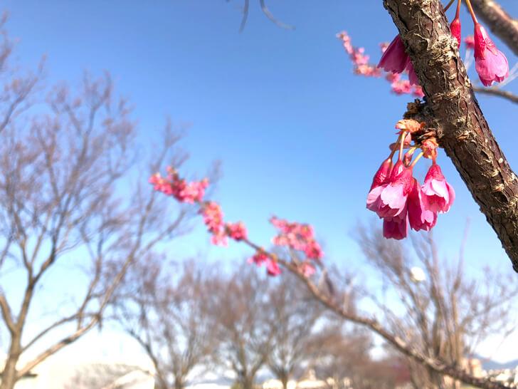 狭山池の桜2020-03-12№(39)