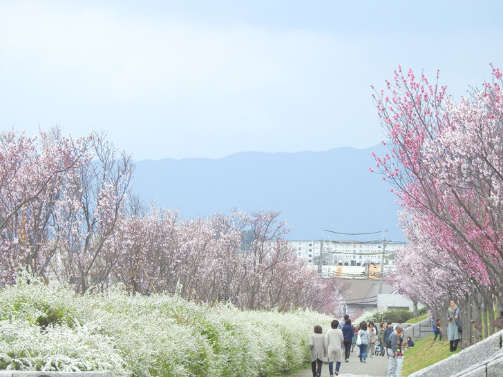 2020-03-22狭山池の桜 (5)