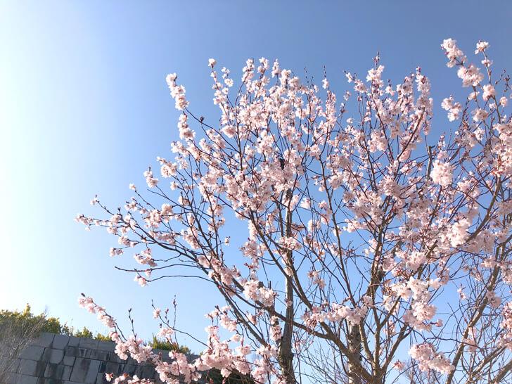 狭山池の桜2020-03-12№(19)