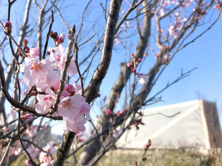 狭山池の桜2020-03-12№(31)