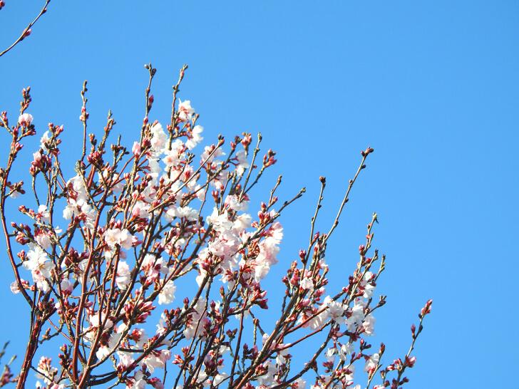 狭山池の桜2020-03-12№(12)