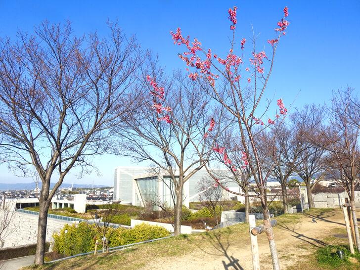 狭山池の桜2020-03-12№(40)