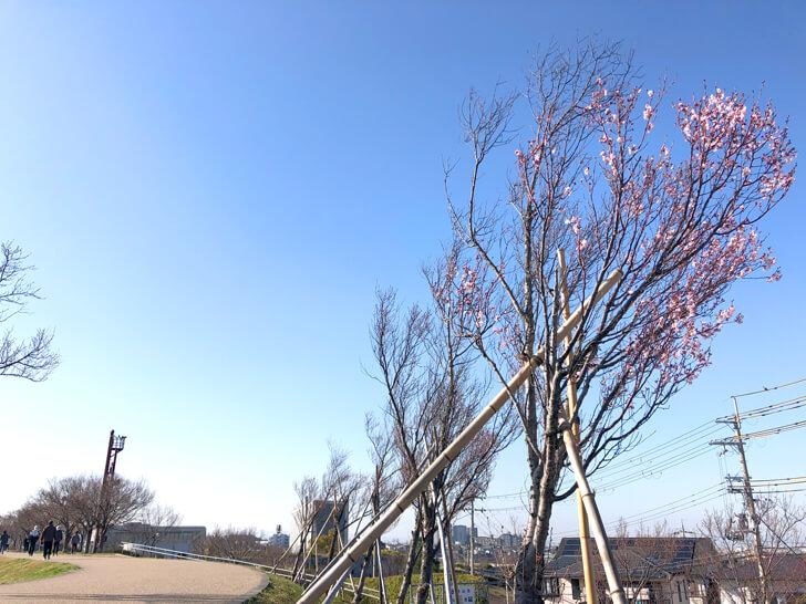 狭山池の桜2020-03-12№(011)