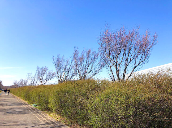 2020-03-03狭山池の桜