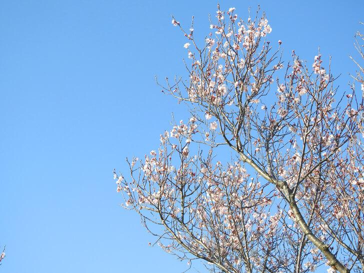 狭山池の桜2020-03-12№(28)