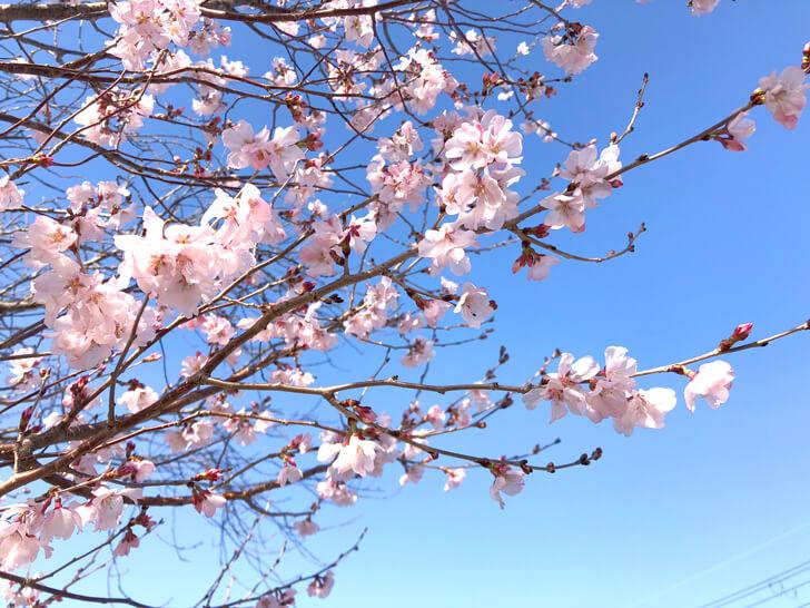狭山池の桜2020-03-12№(21)