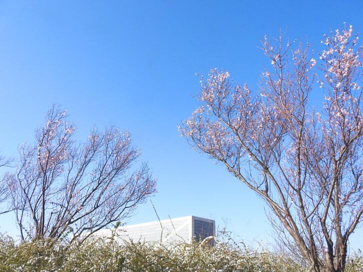 狭山池の桜2020-03-12№(27)