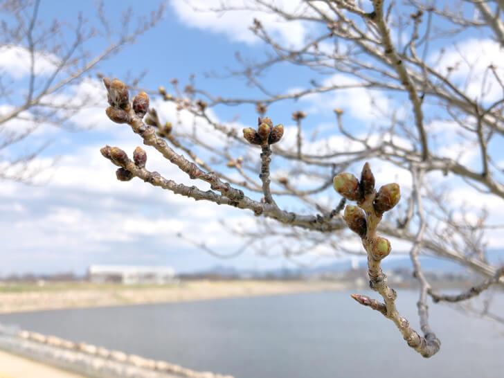 2020-03-19狭山池の桜 (15)