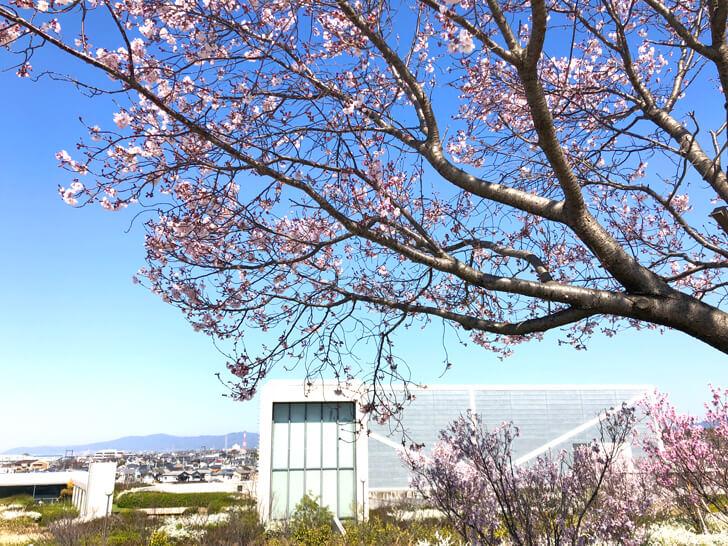 2020-03-25狭山池の桜 (3)