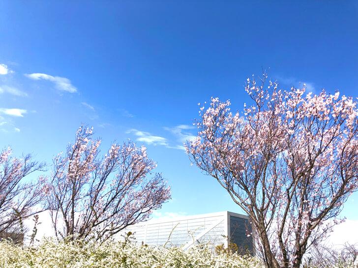 2020-03-19狭山池の桜 (5)