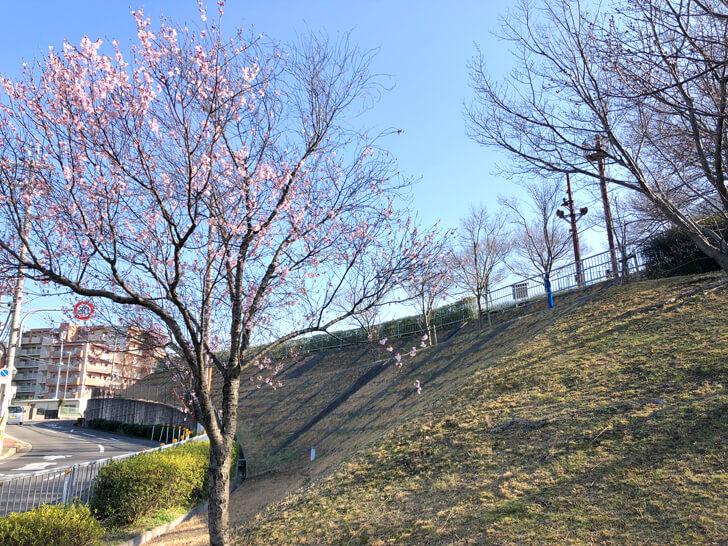 狭山池の桜2020-03-12№(13)