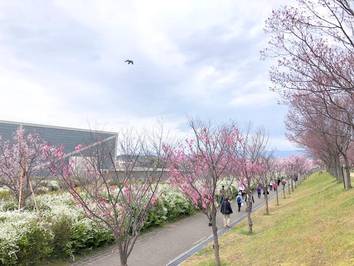 2020-03-22狭山池の桜 (4)