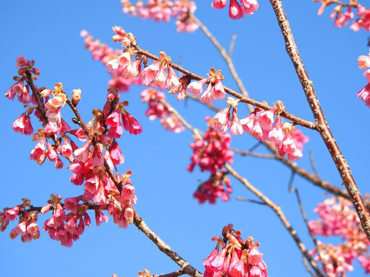 狭山池の桜2020-03-12№(42)
