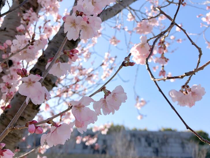 狭山池の桜2020-03-12№(17)