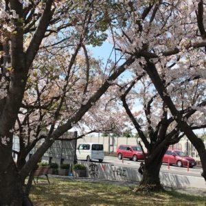 桜の花が散り始め、葉桜も多くなってきましたね (5)
