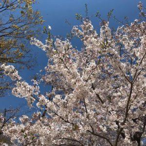 桜の花が散り始め、葉桜も多くなってきましたね (1)