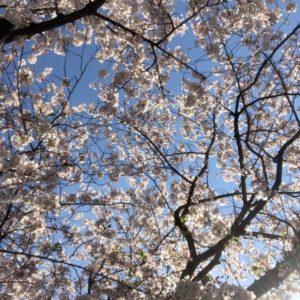桜の花が散り始め、葉桜も多くなってきましたね (10)