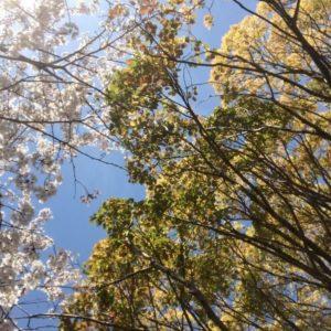 桜の花が散り始め、葉桜も多くなってきましたね (6)