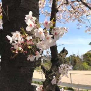 桜の花が散り始め、葉桜も多くなってきましたね (3)